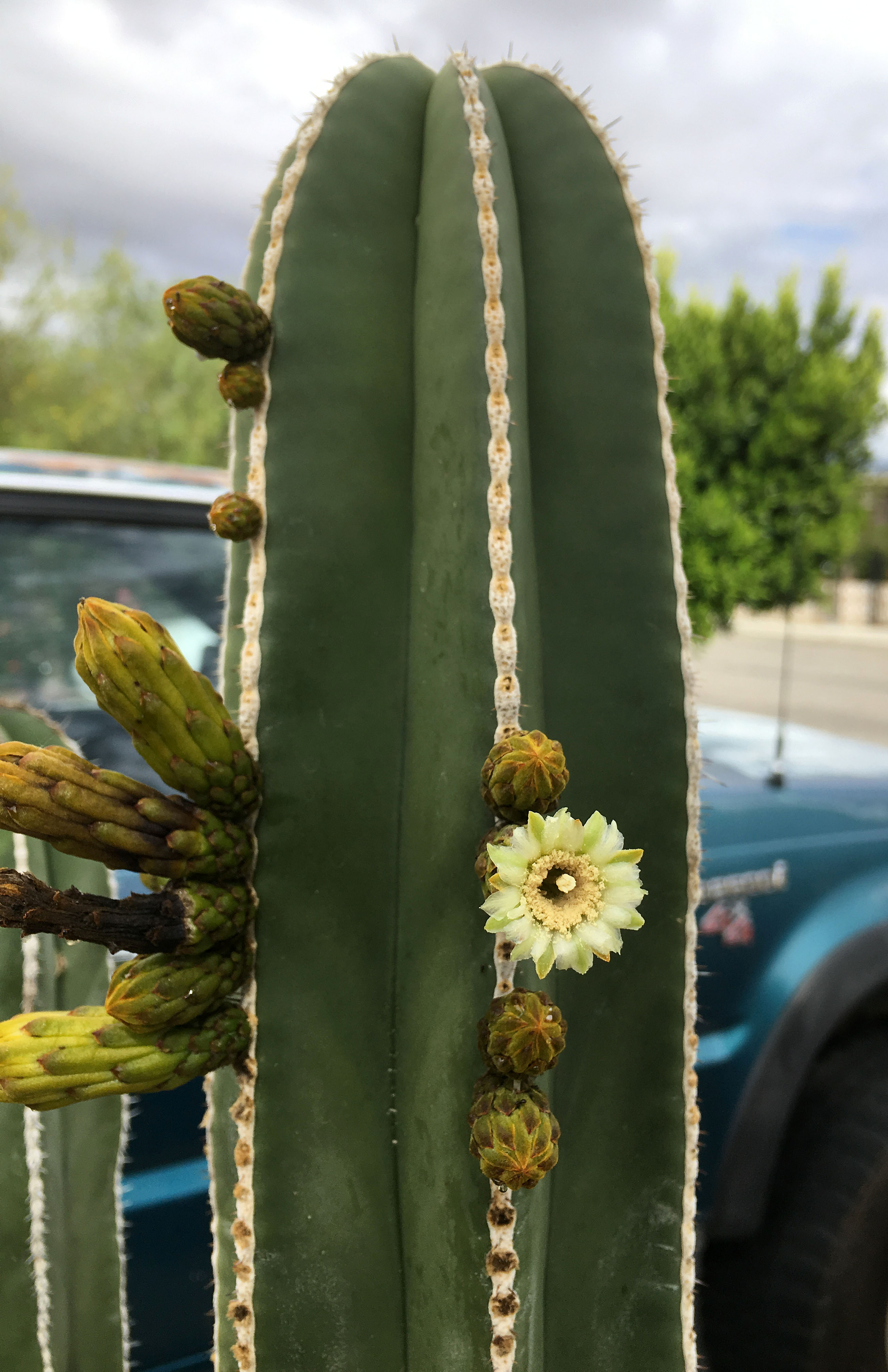 Ipernity Mexican Fencepost Cactus Flower 0784 By Ron S Log